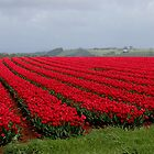 tulip time again in Tasmania 2013  #36 by gaylene