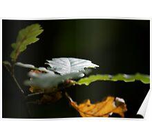 Sunlit Oak Leaves Poster