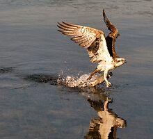 Osprey   484 by John Van-Den-Broeke