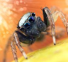 'Menemerus bivittatus' by Kerrod Sulter