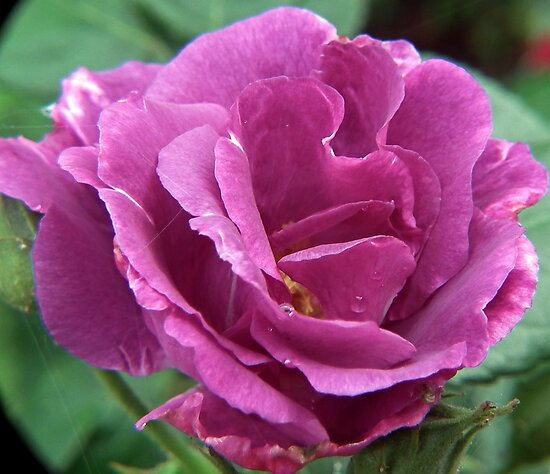 Pink/Lilac Rose by lynn carter