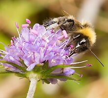 Bumble Bee on Devil's-bit Scabious by David Barnes