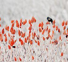 red-winged blackbird by Steven Ralser