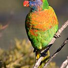 Rainbow lorikeet by Steven Ralser