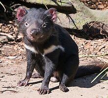 Tasmanian Devil by Steven Ralser