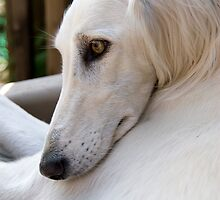 Saluki dreams by sandyprints