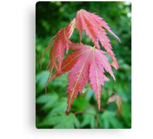 Acer leaves after rain Canvas Print