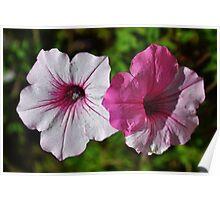 Two Tone Petunia Poster