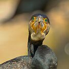 great cormorant by Kym Bradley