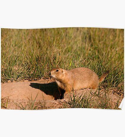Prairie Dog on Alert Poster