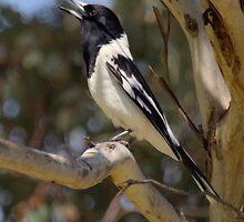 Pied Butcher Bird by Kym Bradley