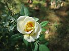 Little Yellow Rose by Ginny York