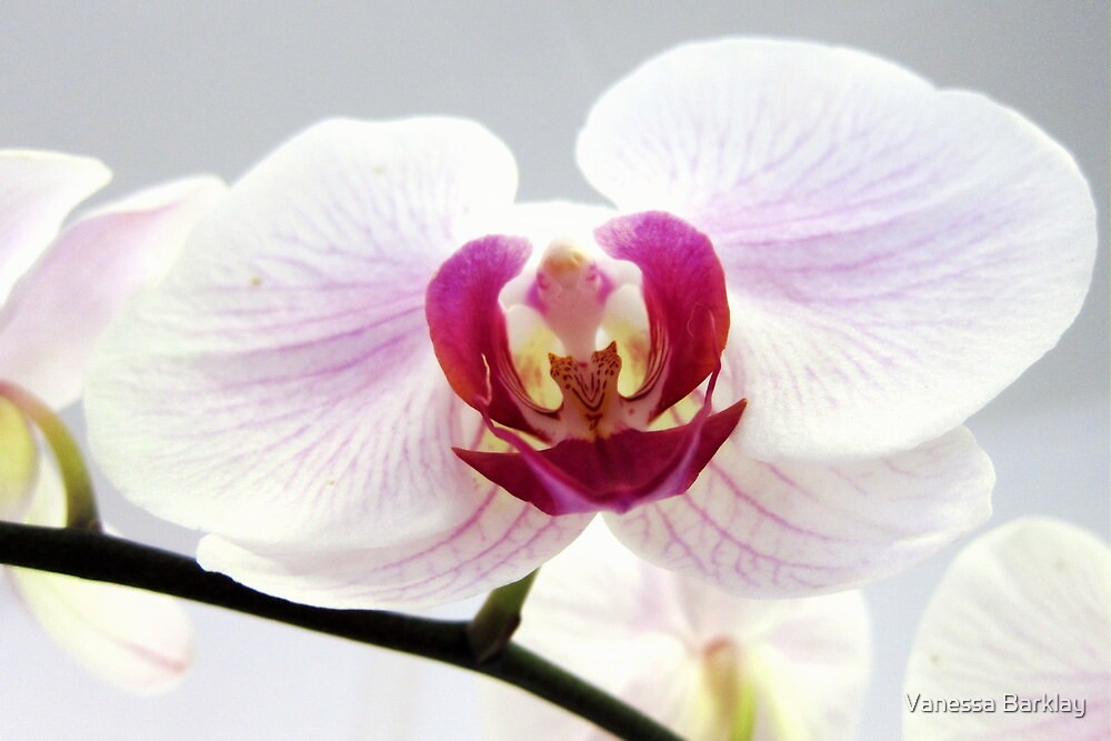 Orchid In White by Vanessa Barklay