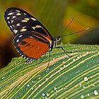 Tiger Longwing Butterfly by JMChown