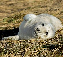 Grey Seal Pup by mhfore