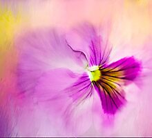 The Breath Taking Beauty Of The Pansy by Diane Schuster