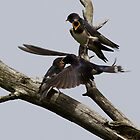 Feeding Swallow Family by Neil Bygrave (NATURELENS)