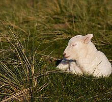 Sleeping Lamb by Heidi Stewart