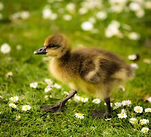 Cute Duckling by Heidi Stewart