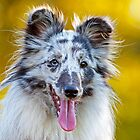 Shetland Sheepdog by LexiTheMonster