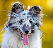 Shetland Sheepdog by LexiTheMonster