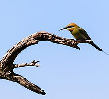 Rainbow Bee-Eater, Bibra Lake Reserve, W.A. by Sandra Chung