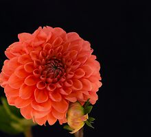 Peach Dahlia by Dennis Reagan