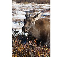 Moose calf in snow Photographic Print