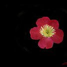 Camellia Blossom On Black  by heatherfriedman
