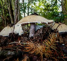 Agaricus augustus ~ The Prince ~ by Charles & Patricia   Harkins ~ Picture Oregon