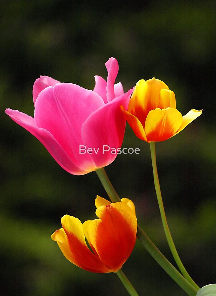 Pink, Orange & Yellow Tulips by Bev Pascoe