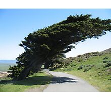 Point Reyes Wind Blown Trees Photographic Print