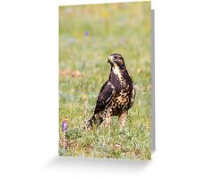 Swainson's Hawk (Buteo swainsoni) Greeting Card