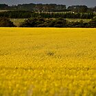 Field of  Gold by jainiemac