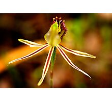 Dragon Orchid Photographic Print