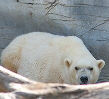 Polar Bear by AnnDixon