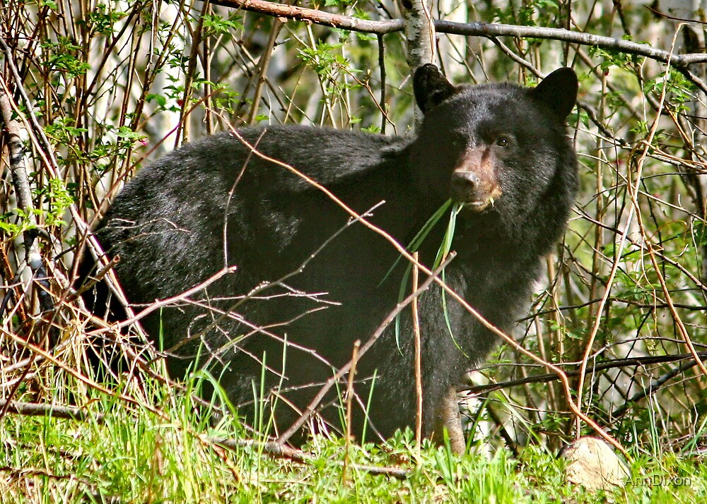 Black Bear Snacking by AnnDixon