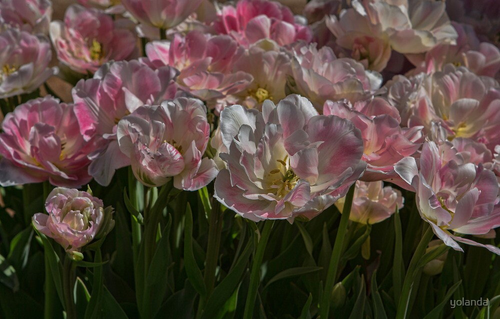 Tulips in Pastel by yolanda