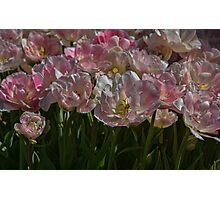 Tulips in Pastel Photographic Print