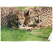 watching cheetahs Poster