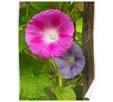Morning Glories Together Poster