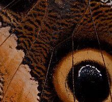 Owl Butterfly Wing Macro by JMChown