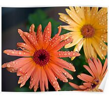 Gerber daisys after a rainy night Poster