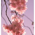 Spring Cherry Blossom by Ulla Vaereth