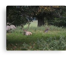 Two Stags (Dinefwr Deer Park) Canvas Print
