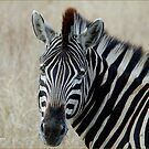 IN PORTRAIT THE BURCHELL'S ZEBRA – Equus burchelli – Bontkwagga by Magaret Meintjes