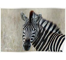 IN PORTRAIT THE BURCHELL'S ZEBRA – Equus burchelli – Bontkwagga Poster