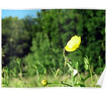 wild Butter cup Poster