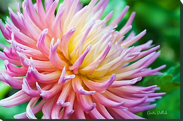 Dahlia in her Glory by Anita Pollak