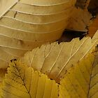 Golden Elm Leaves by Stephen Thomas